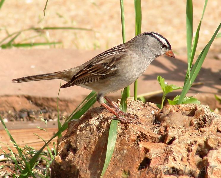 White-crowned Sparrow <br /> Bridgeton, Mo.
