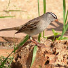 White-crowned Sparrow <br /> Bridgeton, Mo.