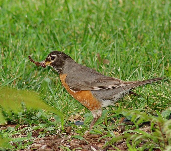 American Robin<br /> Bridgeton, Mo.