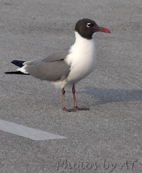Laughing Gull<br /> Fort Macon<br /> North Carolina