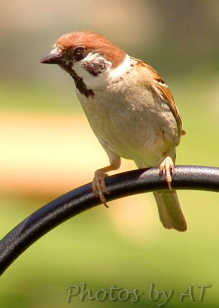 Eurasian Tree Sparrow <br /> Bridgeton, Mo.