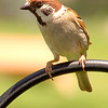 Eurasian Tree Sparrow <br /> Bridgeton, Mo.