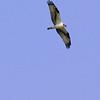 Osprey<br /> Busch Wildlife CA