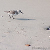 Sanderling, immature<br /> Fort Macon<br /> North carolina