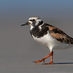 Ruddy Turnstone (Breeding Adult)