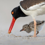 American Oystercatcher feeding chick