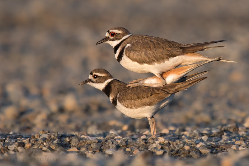 "Killdeer ""mating"""
