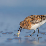 Sanderling (Breeding adult)