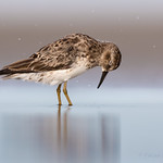 "Least Sandpiper ""Intensity"""