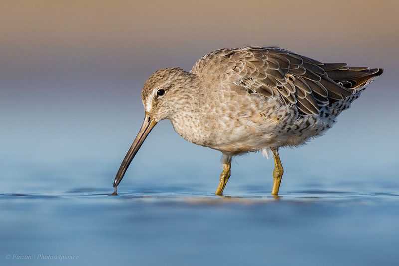 Short-billed/Long-billed Dowitcher