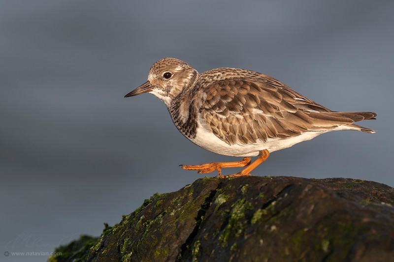 Ruddy Turnstone (Nonbreeding adult)