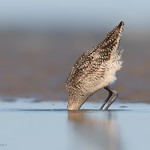 Photo-shy sandpiper