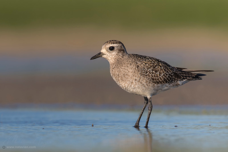 American Golden-Plover (non breeding)