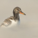 American Oystercatcher baby