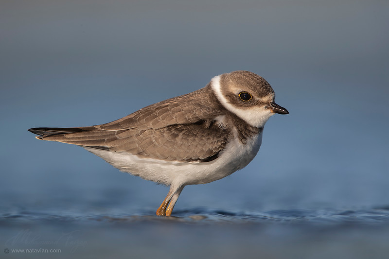Semipalmated plover (juvenile)