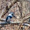 Belted kingfisher - Apr 2018, Greenbrook, NJ