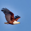 African Fish Eagle - South Africa, Sept 2015
