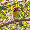 Red-headed barbet - Savegre, Costa Rica, Jan 2017