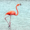 American Flamingo, Bonaire, Feb 2012