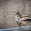 American Black Duck - Nov 2009, Greenbrook, NJ