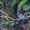 Amazon kingfisher - La Mina, Costa Rica, Jan 2017