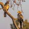 Southern Yellow-billed Hornbill - Notten's, South Africa, Sept 2015