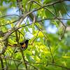 American Redstart - Belize, Feb 2013