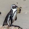 Jackass (African) Penguin - South Africa, Sept 2015