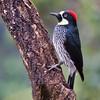 Acorn woodpecker - Savegre, Costa Rica, Jan 2017