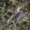 Red-billed Hornbill - Notten's, South Africa, Sept 2015