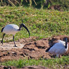 African Sacred Ibis - West Coast NP, South Africa, Sept 2015<br /> The one on the right, with a crab