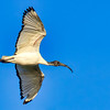 African Sacred Ibis in flight - West Coast NP, South Africa, Sept 2015