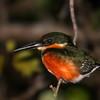 American Pygmy Kingfisher - Belize, Feb 2013