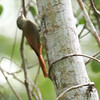 Olivaceous Woodcreeper- Sian Kaan_MX 082