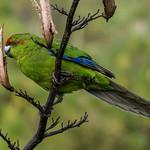 Kākāriki or Red-Crowned Parakeet, Cyanoramphus novaezelandiae. Auckland.