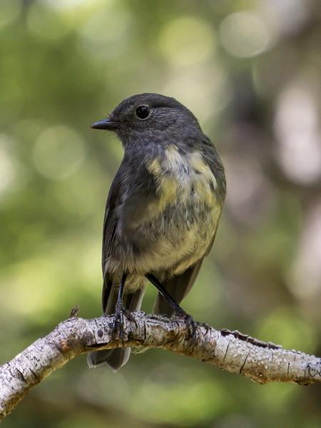South Island Robin, Petroica australis. Canterbury.