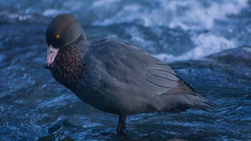 Whio or Blue Duck, Hymenolaimus malacorhynchos. West Coast.