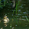 A mallard duckling (baby duck) swims. Green. You can see its reflection in the green water.