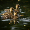 baby ducks mallard ducklings floating in a pond or lake - Nature Stock Image by Professional Nature Photographer Christina Craft