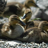 Ducklings on shore near their mother - Nature Stock Image by Professional Nature Photographer Christina Craft