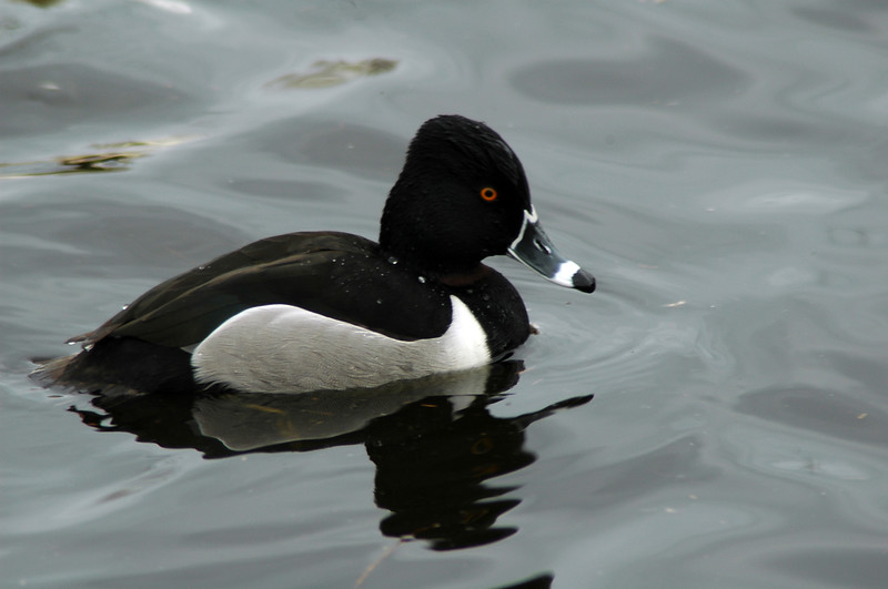 Ring-necked duck (male) scaup ducks<br /> Professional Wildlife Photography by Christina Craft of the Nature Stock Photography Library
