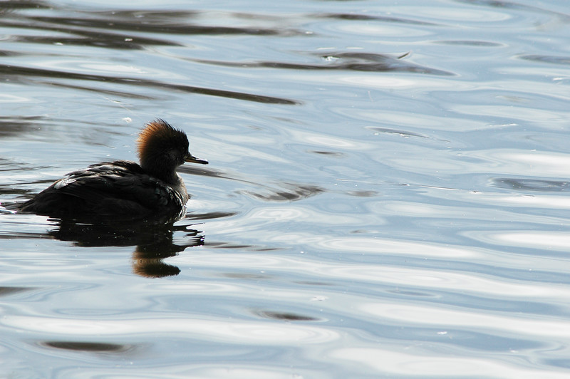 Red Braested Merganser, <br /> Professional Wildlife Photography by Christina Craft of the Nature Stock Photography Library