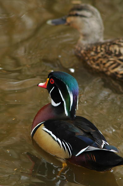 wood duck<br /> Professional Wildlife Photography by Christina Craft of the Nature Stock Photography Library