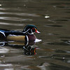 Male wood duck<br /> Professional Wildlife Photography by Christina Craft of the Nature Stock Photography Library