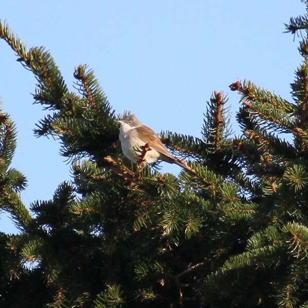 Pied flycatcher in fir tree near the osprey site