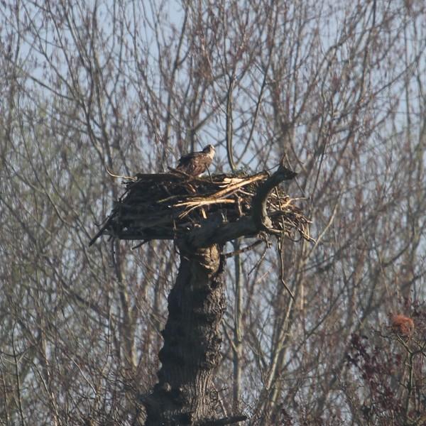 Female osprey on the nest.