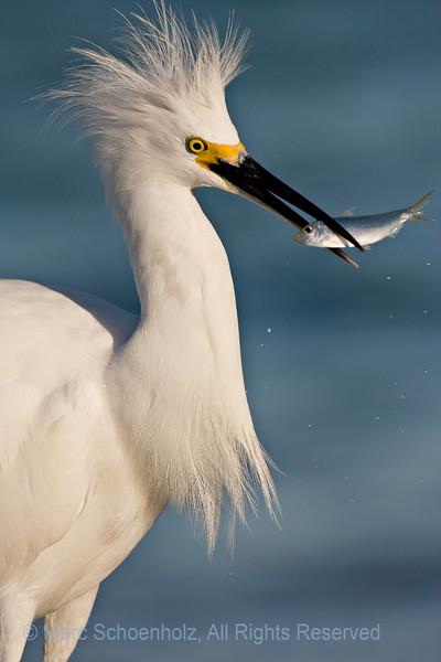 Fishing Snowy Egret, Photographed at: Sanibel Fishing Pier, Sanibel, Florida. December, 2007  ©2007 Marc Schoenholz  Exposure and Camera Info Camera:  Canon EOS 40D Lens: 400  Shutter Speed: 1/2000,  Aperture: 7 ISO Setting: 400