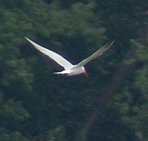 <b><center>Caspian Tern?</b></center>