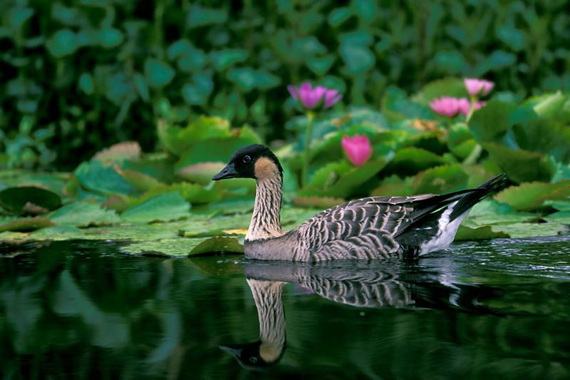 "endemic Hawaiian goose or "" nene "" <br /> Nesochen sanvicensis ( endangered )<br /> Big Island of Hawaii"