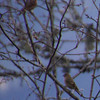 Poor focus, but likely a pair of Common Rosefinches (near Banthanti)